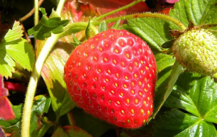 red strawberry on plant