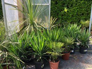 smaller palms
