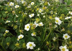 white flowers on strawberry plants
