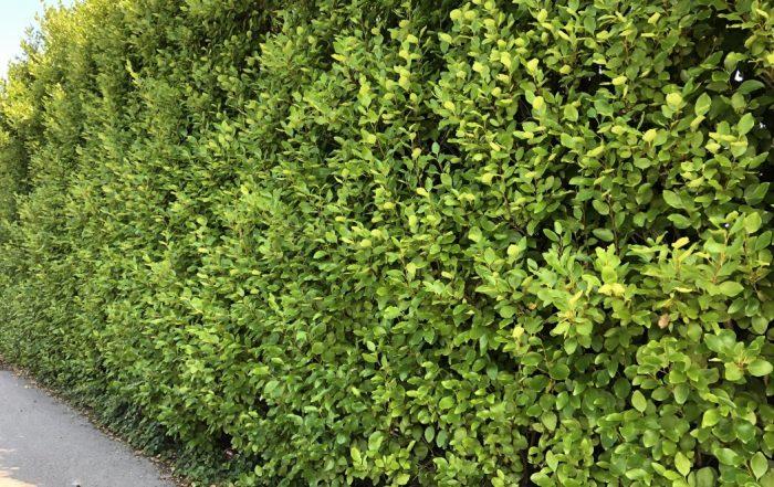 Griselinia hedge - Trevena Cross