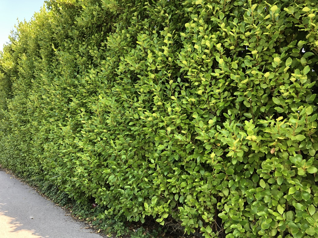Griselinia hedge - Trevena Cross