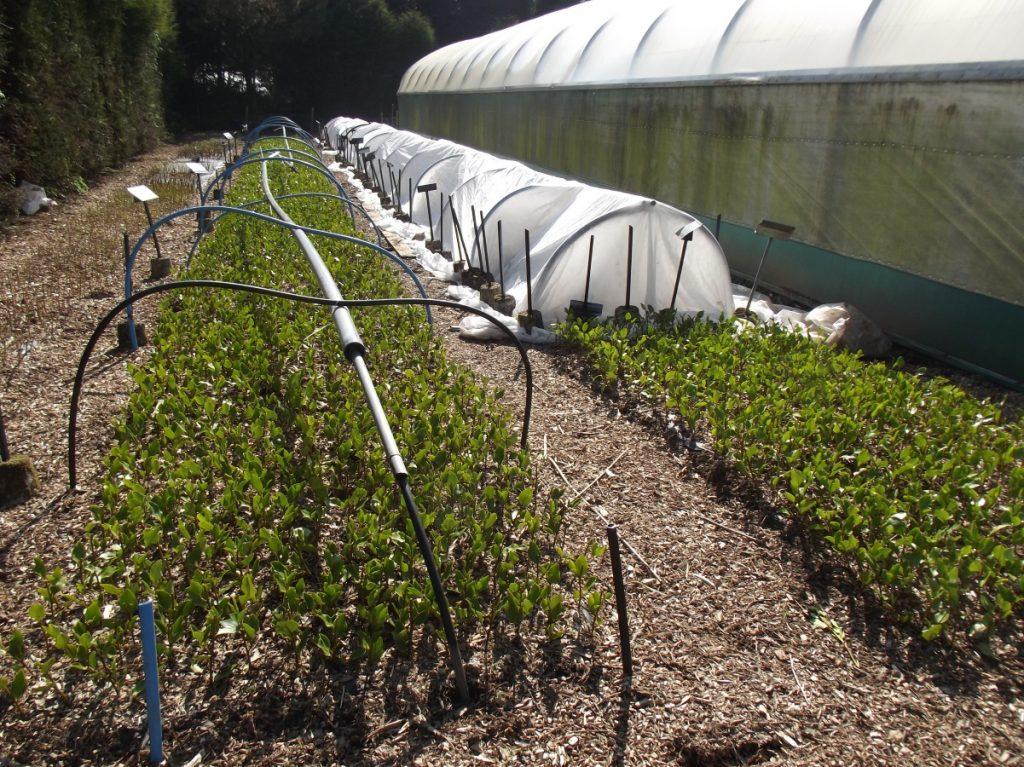 Growing Griselinia hedging in the nursery at Trevena Cross