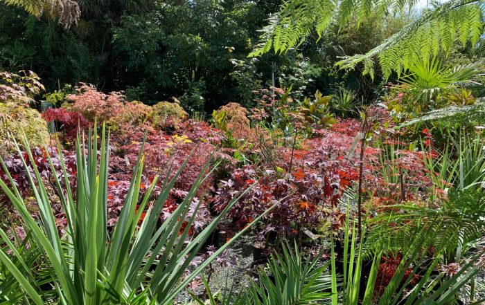 Acers and plants at Trevena Cross