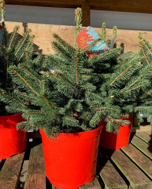 Pot grown Blue Spruce Christmas tree at Trevena Cross