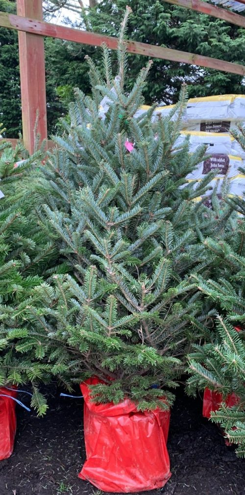 Pot grown Fraser Fir (4-5ft) at Trevena Cross