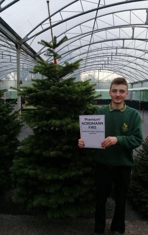 Premium cut Nordmann Fir Christmas Tree at Trevena Cross