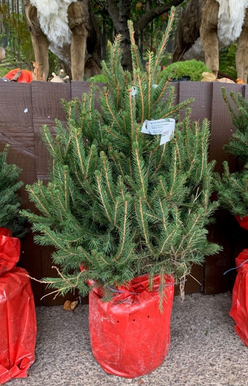 Pot grown Norway Spruce (2-2.5ft)