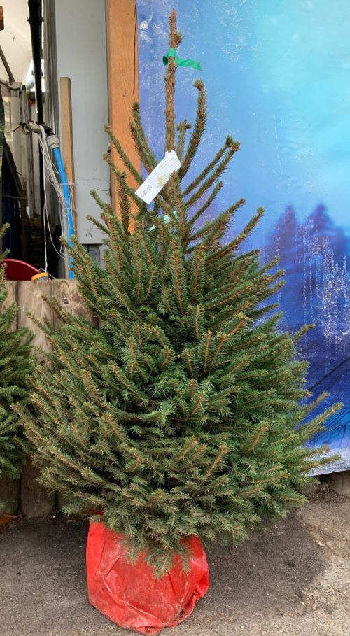 Pot grown Norway Spruce (4-5ft) at Trevena Cross