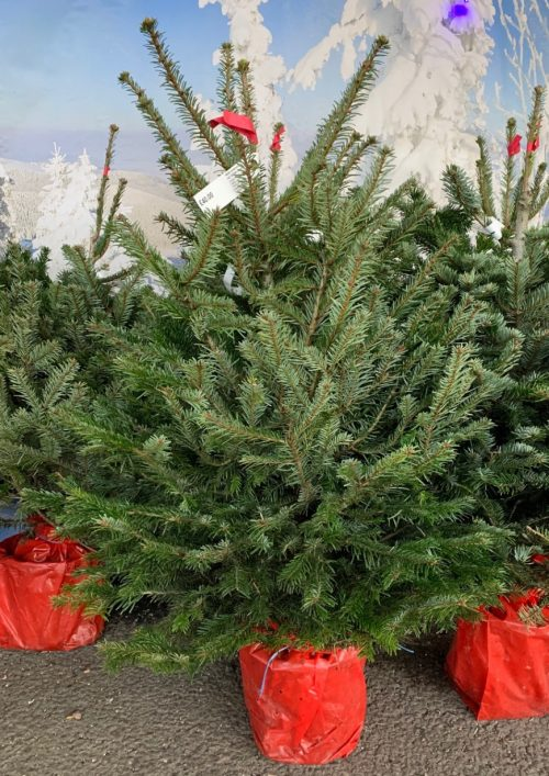 Pot grown Nordmann Fir Christmas tree at Trevena Cross