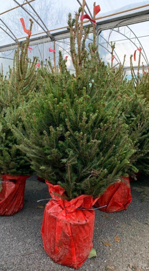 Pot grown Norway Spruce (3-4ft) at Trevena Cross