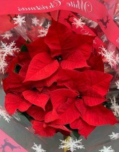 Red poinsettias - Christmas at Trevena Cross