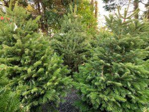 Cut Christmas trees - Christmas at Trevena Cross