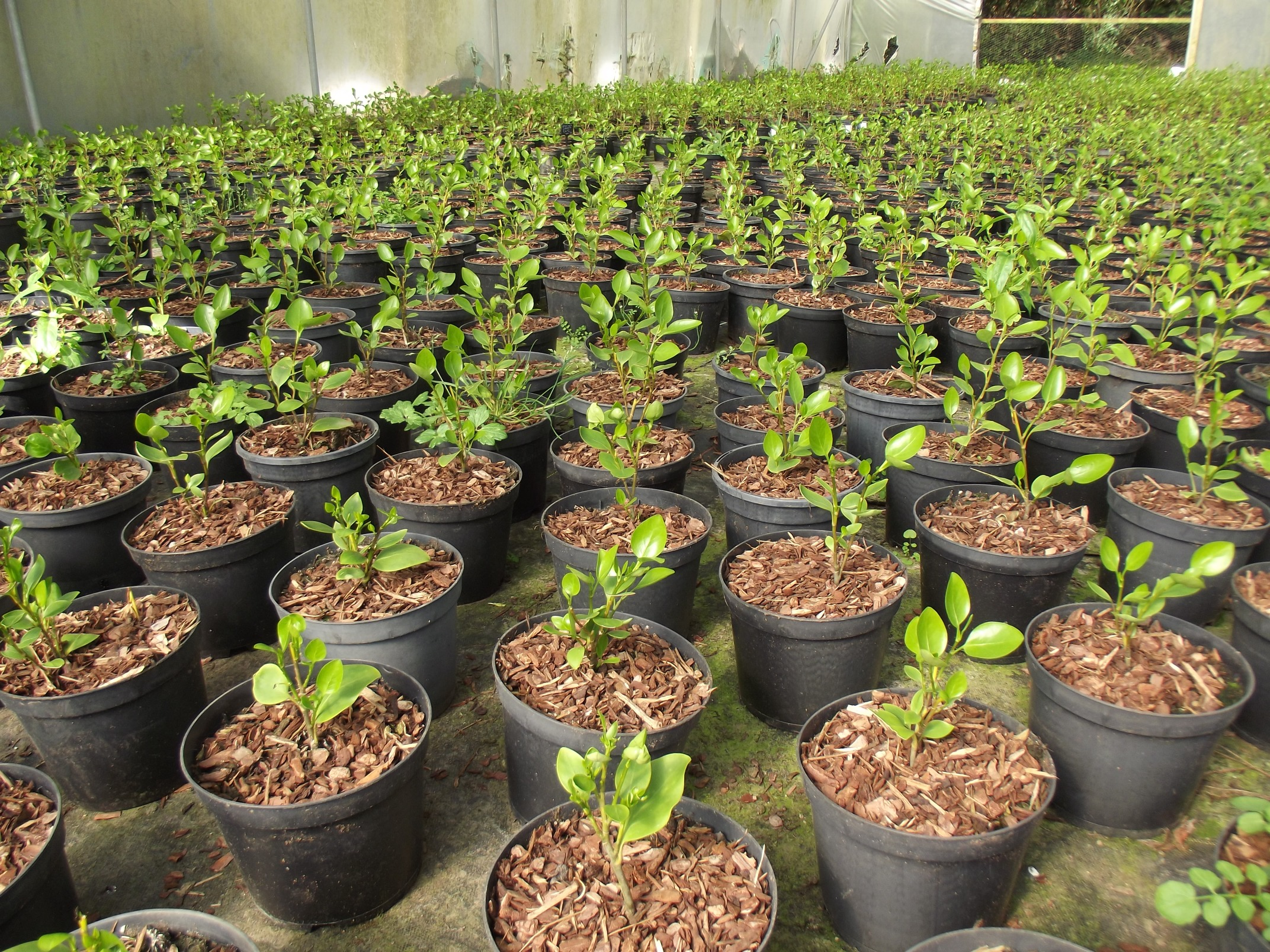 Small Griselinia potted on in quality compost