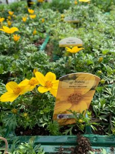 Patio Plants - Bidens at Trevena Cross