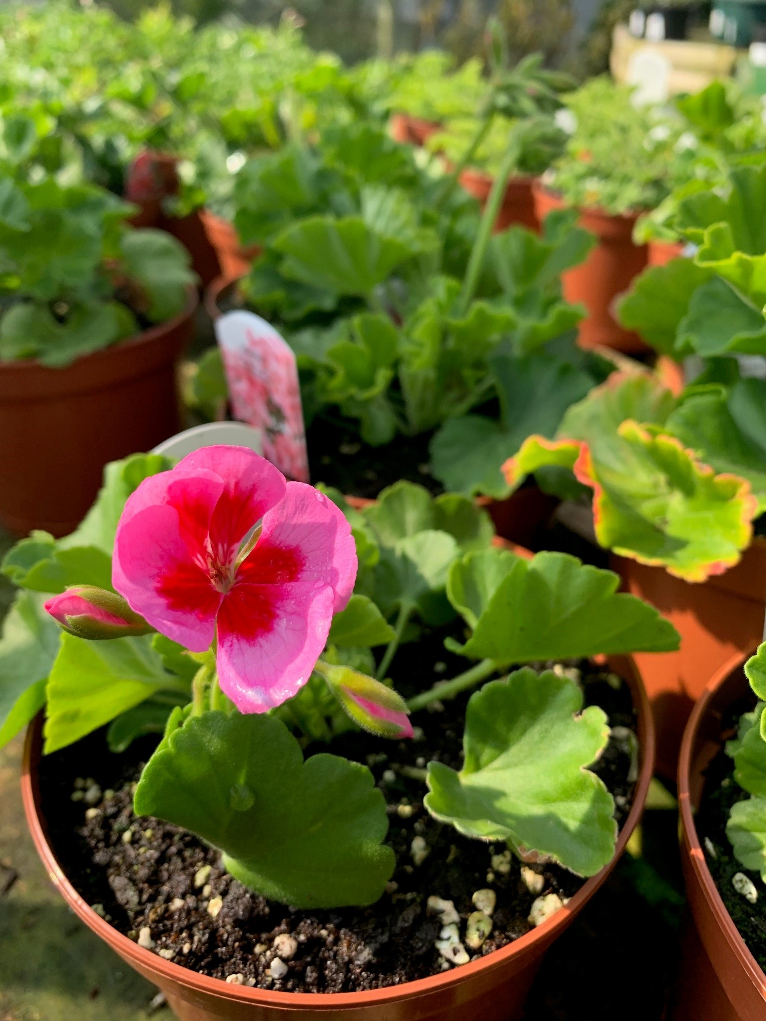 Patio plants - Geranium at Trevena Cross