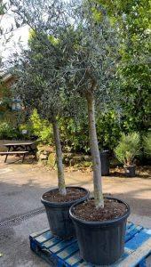 £250 olive tree - Trevena Cross