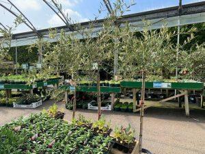 £50 open top olive tree - Trevena Crossl