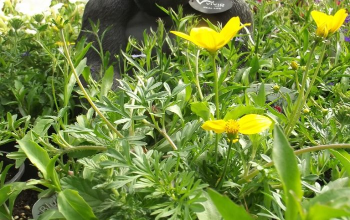 Gorilla amongst flowers at Trevena Cross