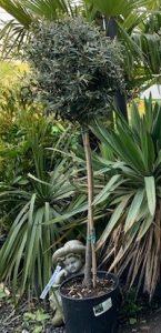 £65 lollipop olive tree - Trevena Cross