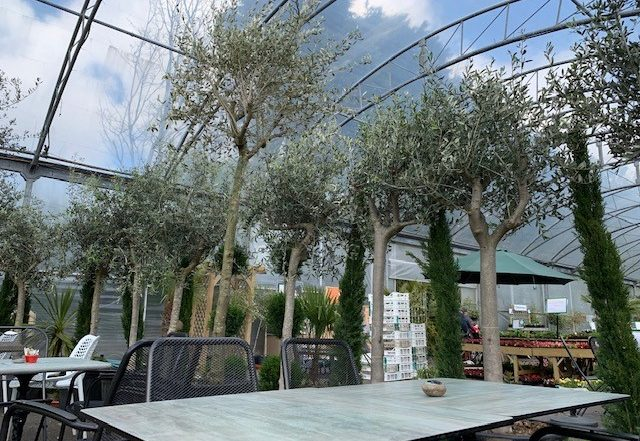 olive trees around cafe seating area