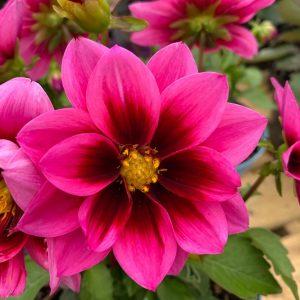 Pink Dahlia at Trevena Cross