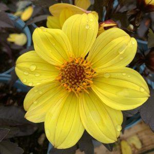 Yellow Dahlia at Trevena Cross