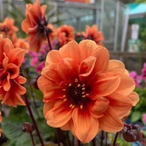 Orange Dahlia at Trevena Cross