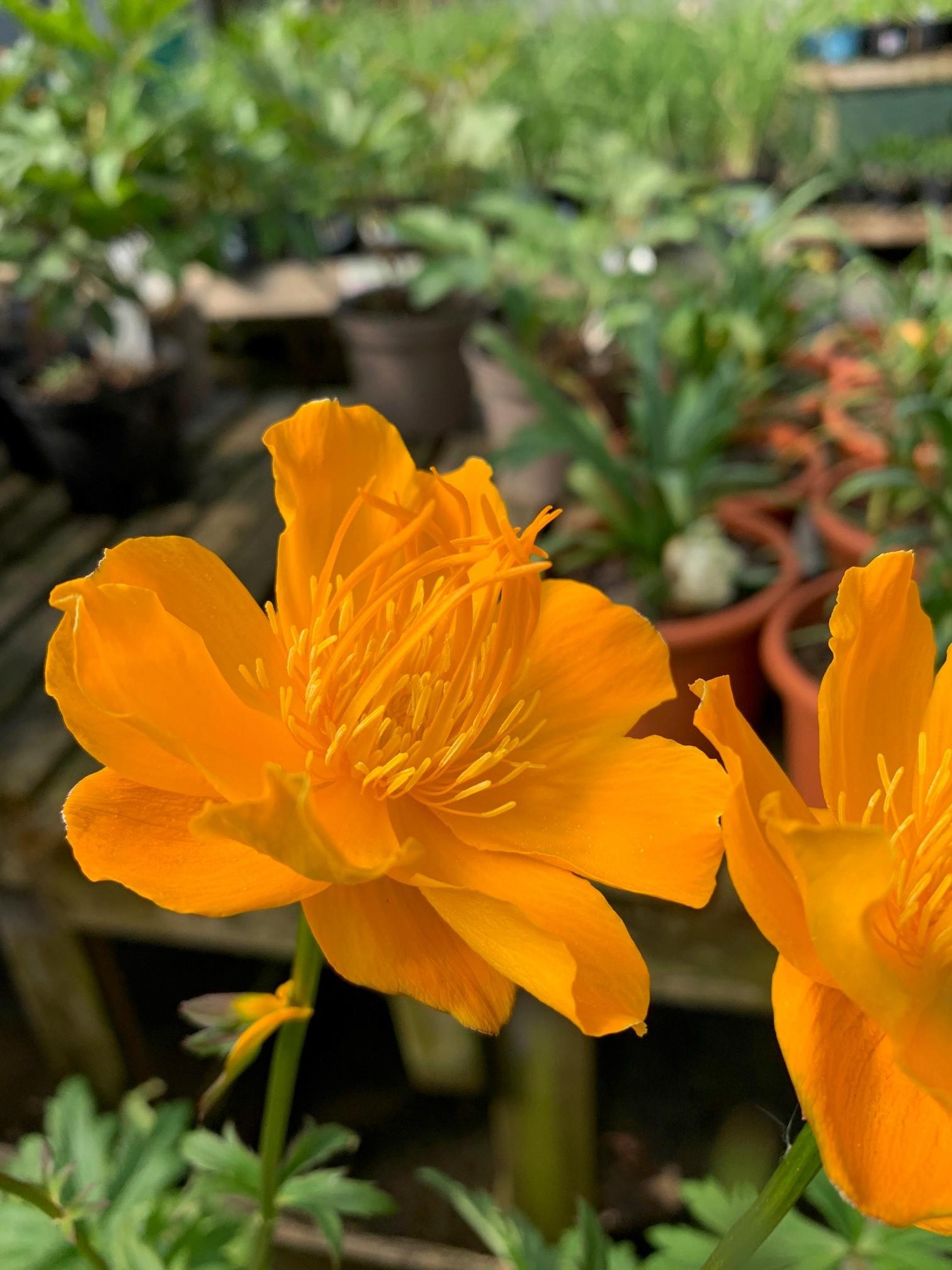 Yellow flowered perennial at Trevena Cross