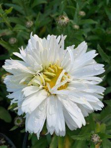 White perennial at Trevena Cross