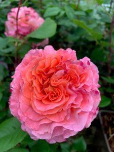 Pink rose at Trevena Cross