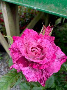 Speckled pink rose at Trevena Cross