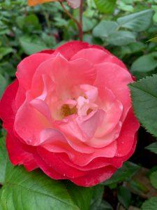 Shades of pink rose at Trevena Cross