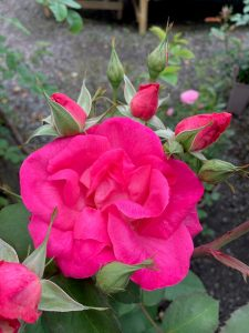 Pink rose and rose buds at Trevena Cross
