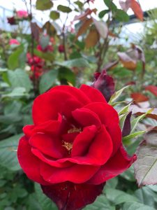 Blooming red rose at Trevena Cross