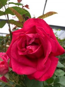 Red rose at Trevena Cross