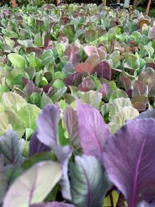 Grow your own brassicas at Trevena Cross