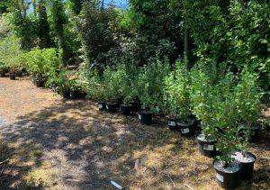 Soft fruit plants at Trevena Cross