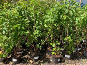 Soft fruit plant pots at Trevena Cross