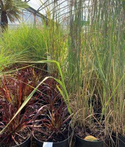 Ornamental grasses at Trevena Cross