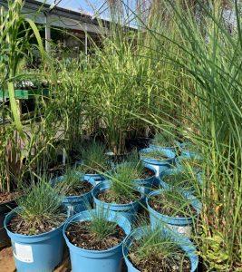 Ornamental grasses - summer at Trevena Cross