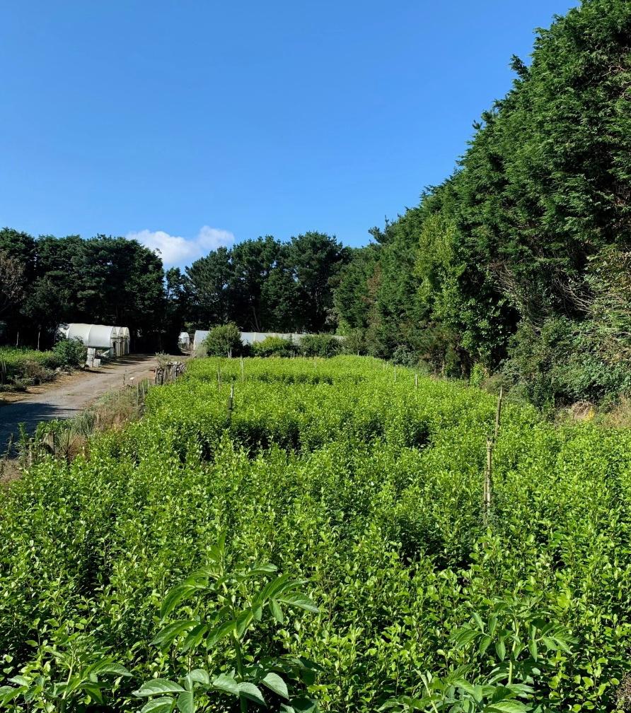 Griselinia outdoor plot in nursery at Trevena Cross